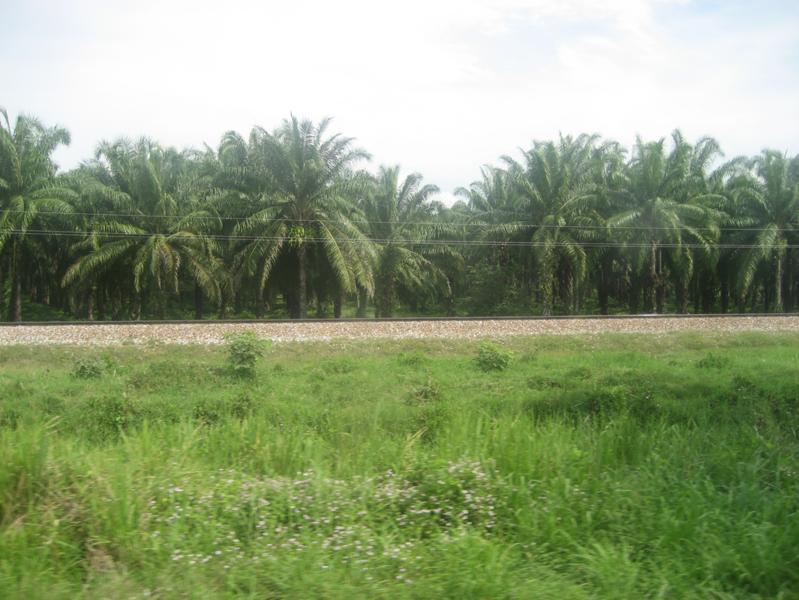 Plantación de palma aceitera en Colombia. Foto: Oilpalmmagdalenacolombia.png: –F3rn4nd0 08:48, 28 March 2007 (UTC).