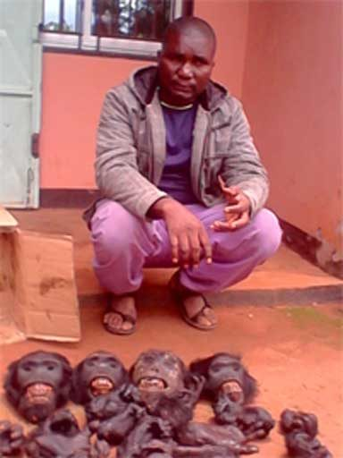 Cabezas de gorila y extremidades incautadas por las autoridades en Camerún. Foto cortesía de LAGA.
