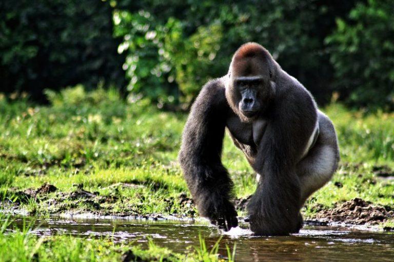 A menos que el tráfico de gorilas y chimpancés se pueda controlar, estos primates pronto desaparecerán de los bosques de Camerún. Foto de MCAMERFILS licencia bajo Creative Commons Attribution-Share Alike 4.0 International license.