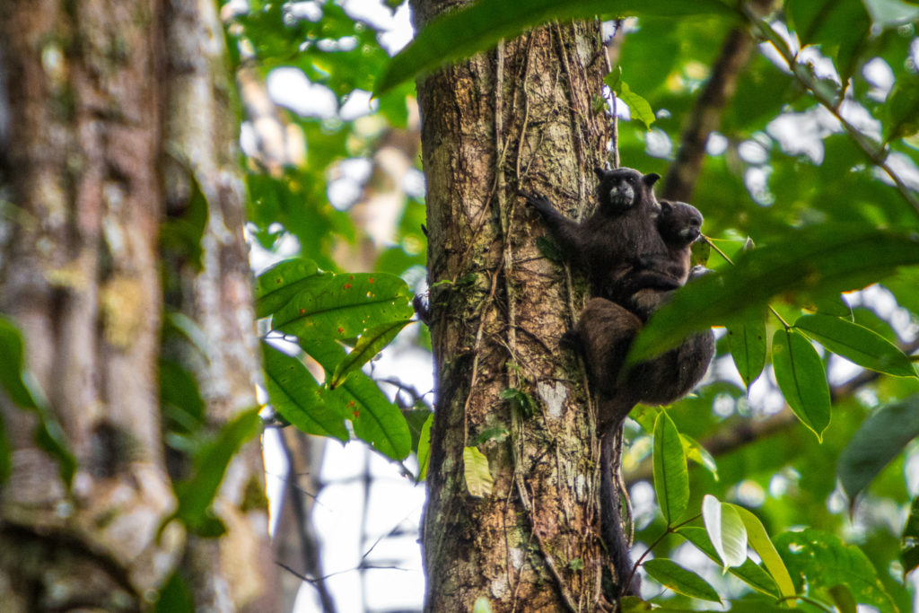 Mono Tití, vive al noroeste de Colombia, entre el río Atrato en el pacifico y el Cauca. Foto: ©Diego J. Lizcano.