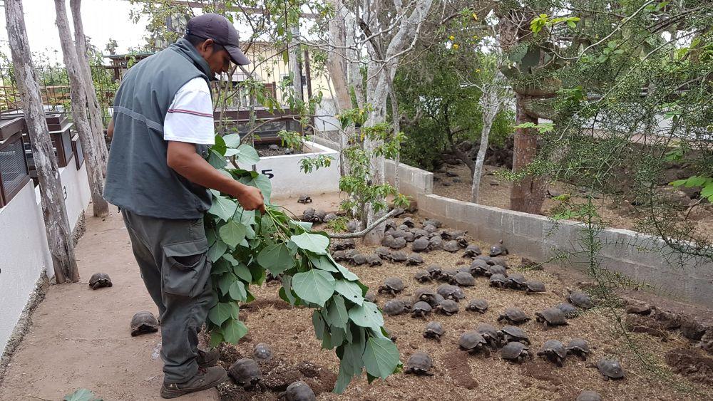 Plantas introducidas como otoy y porotillo son la alimentación de las tortugas en los tres centros de crianza en cautiverio que operan en Galápagos. Foto cortesía Parque Nacional Galápagos.