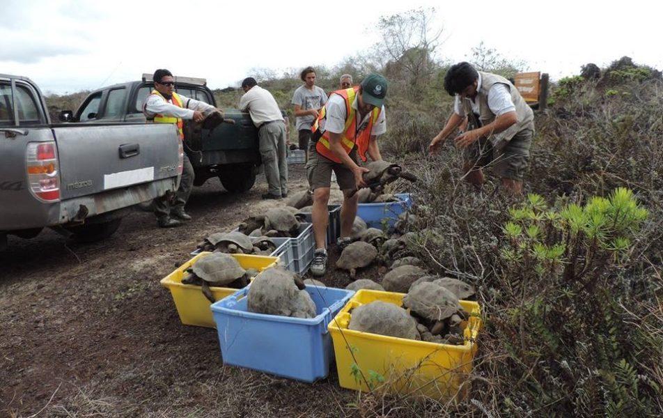 Las autoridades del parque afirman que los procedimientos empleados en las repatriaciones por los guardaparques y técnicos evitan el estrés en los animales. Foto cortesía Parque Nacional Galápagos.