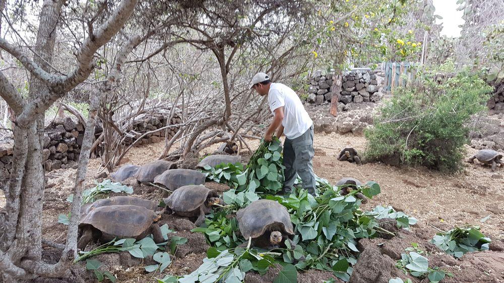 Los guardaparques se encargan de alimentar a los ejemplares de tortugas terrestres que permanecen fuera de su estado natural hasta alcanzar los 23 cm y cumplir los cinco años, en promedio. En esta imagen se puede ver cómo viven los quelonios en el Centro de Crianza Fausto Llerena, ubicado en la isla Santa Cruz. Foto cortesía Parque Nacional Galápagos.