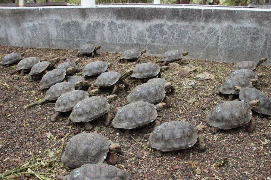 Los tres centros de crianza de Galápagos tienen condiciones muy similares a las que las tortugas encuentran en estado natural para facilitar su adaptación. Allí se las alimenta varias veces al día y se las mantiene en corrales. Foto cortesía Parque Nacional Galápagos.