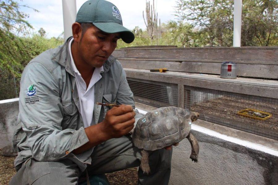 Todas las tortugas que son repatriadas van marcadas y a todas se les coloca, en la pata posterior izquierda, un chip que tiene nueve dígitos, que es como su cédula de identidad, y que permite identificarlas en futuros monitoreos. Foto cortesía Parque Nacional Galápagos.