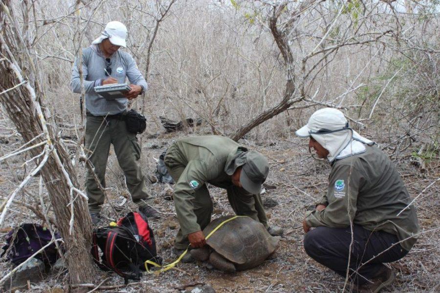 La población de tortugas de la isla San Cristóbal fue censada por primera vez en toda su área de vida a fines del año pasado. El grupo de 70 participantes de la actividad se dividió en bloques o cuadrillas de 14 personas para rastrear y registrar a los ejemplares. Foto cortesía Parque Nacional Galápagos.