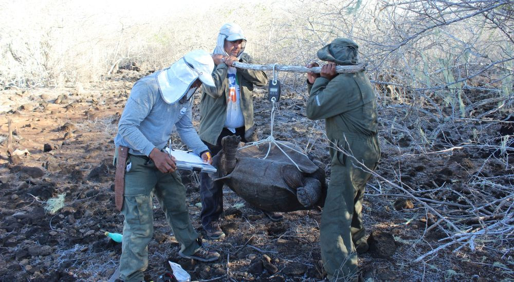 Durante la expedición en San Cristóbal, procedimientos como el pesaje de los ejemplares permitieron concluir que la de esa isla es una población de tortugas gigantes creciente y en buen estado. Foto cortesía Parque Nacional Galápagos.