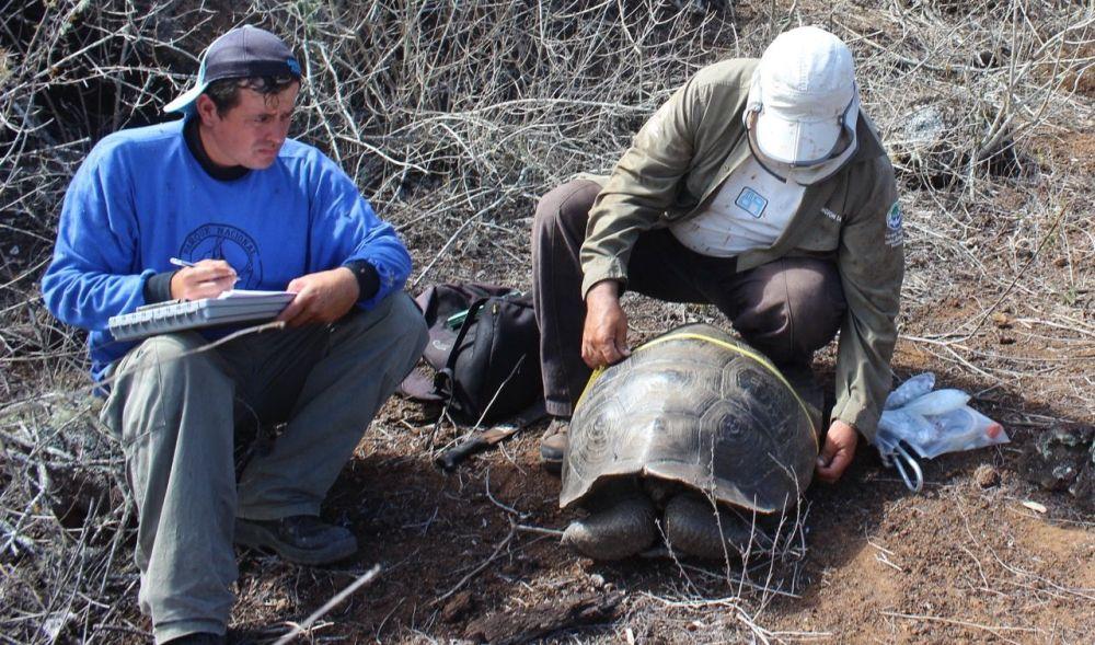 De los casi 7000 ejemplares contabilizados, un alto porcentaje fue de juveniles y hembras, lo que indica que es un población que está en franco crecimiento. Foto cortesía Parque Nacional Galápagos.