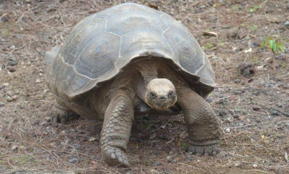 A 400 de las tortugas gigantes de la isla San Cristóbal que fueron censadas en noviembre del año pasado se les tomaron muestras de sangre. Mediante análisis de laboratorio se espera determinar si desde la perspectiva genética la población se encuentra saludable. Foto cortesía Parque Nacional Galápagos.