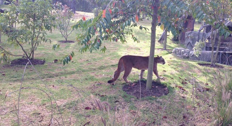 Puma en cautiverio en el Bioparque Wakatá. Foto de Diana Lozano.