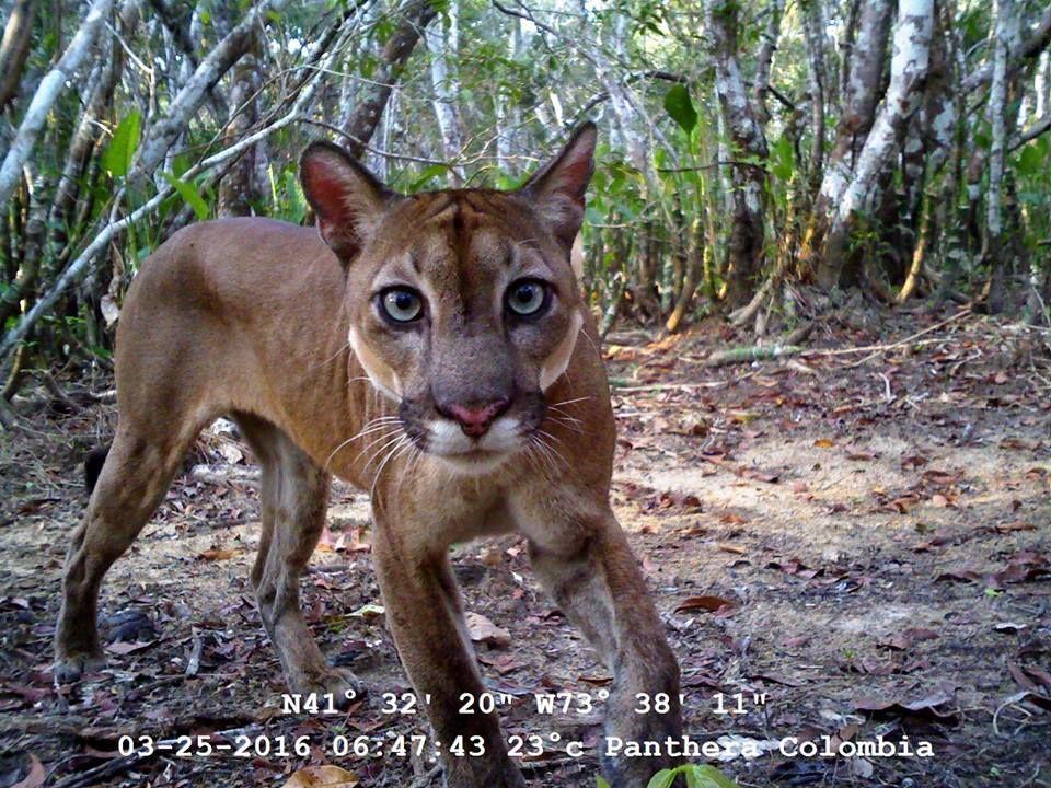 Puma (Puma concolor). Foto de Panthera Colombia.