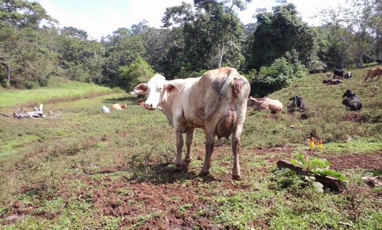 Nicaragua es el mayor exportador de leche de Centroamérica y el cuarto de Latinoamérica, según la Federación Panamericana de Lechería (Fepale), todo en base de la ganadería extensiva. Foto: Wilder Pérez R.