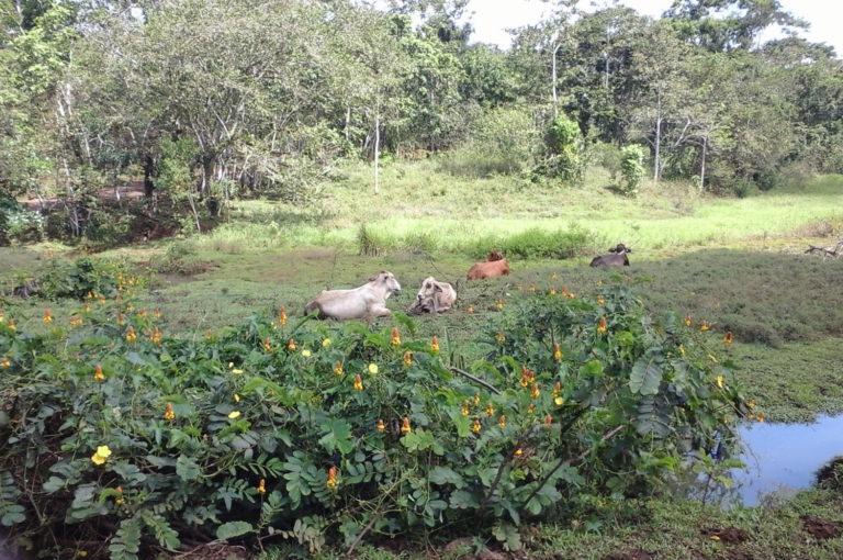 En los bosques del sureste de Nicaragua todavía se pueden observar bosques alrededor de los potreros, que paulatinamente ganan terreno a la Reserva de Biosfera del Sureste. Foto: Wilder Pérez R.
