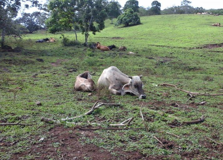 Pese a que la ganadería es uno de los principales rubros de la economía de Nicaragua, su nivele de producción no se caracteriza por ser óptimo. Foto: Wilder Pérez R.