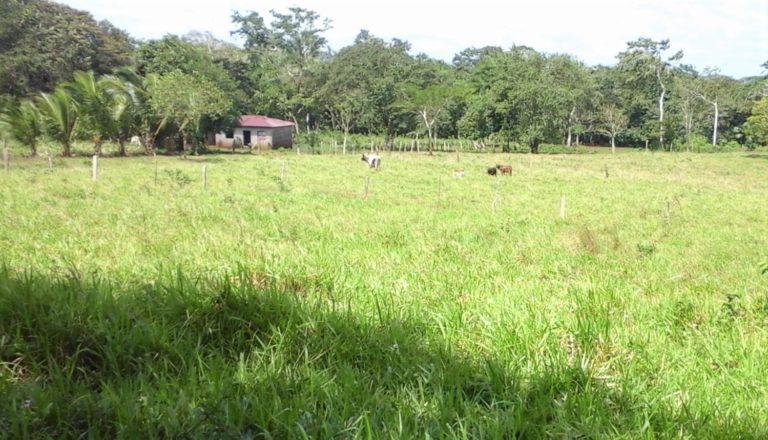 En Nicaragua los productores ganaderos destinan una manzana de tierra por cada vaca, lo que se traduce en la desaparición de miles de bosques dentro de las reservas naturales. Foto: Wilder Pérez R.
