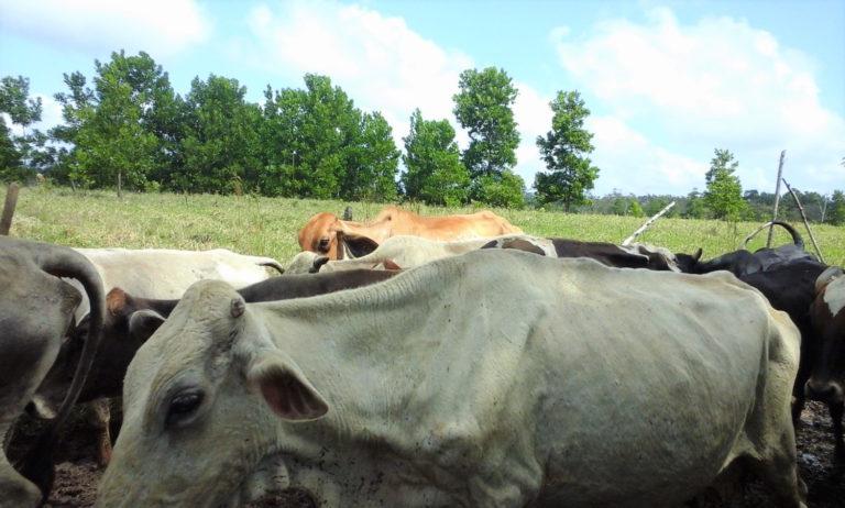 La producción de ganado es un negocio estable en Nicaragua, lo que produce presión en las zonas boscosas del sureste del país. Foto: Wilder Pérez R.