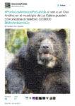 oso-andino-tweet