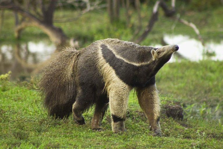 El oso hormiguero gigante. Foto de La Palmita.