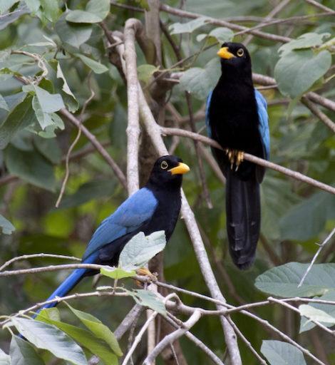 Urraca mesoamericana. Foto cortesía de Tony Hisgett vía Wikimedia Commons