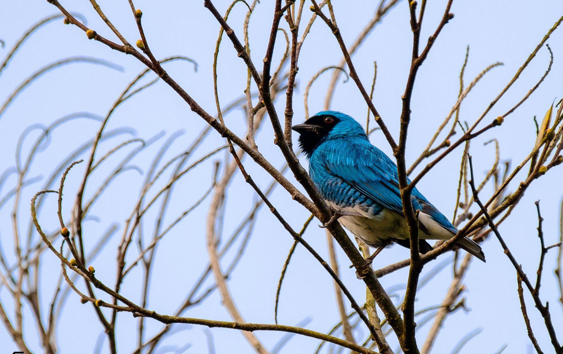azulejo-golondrina