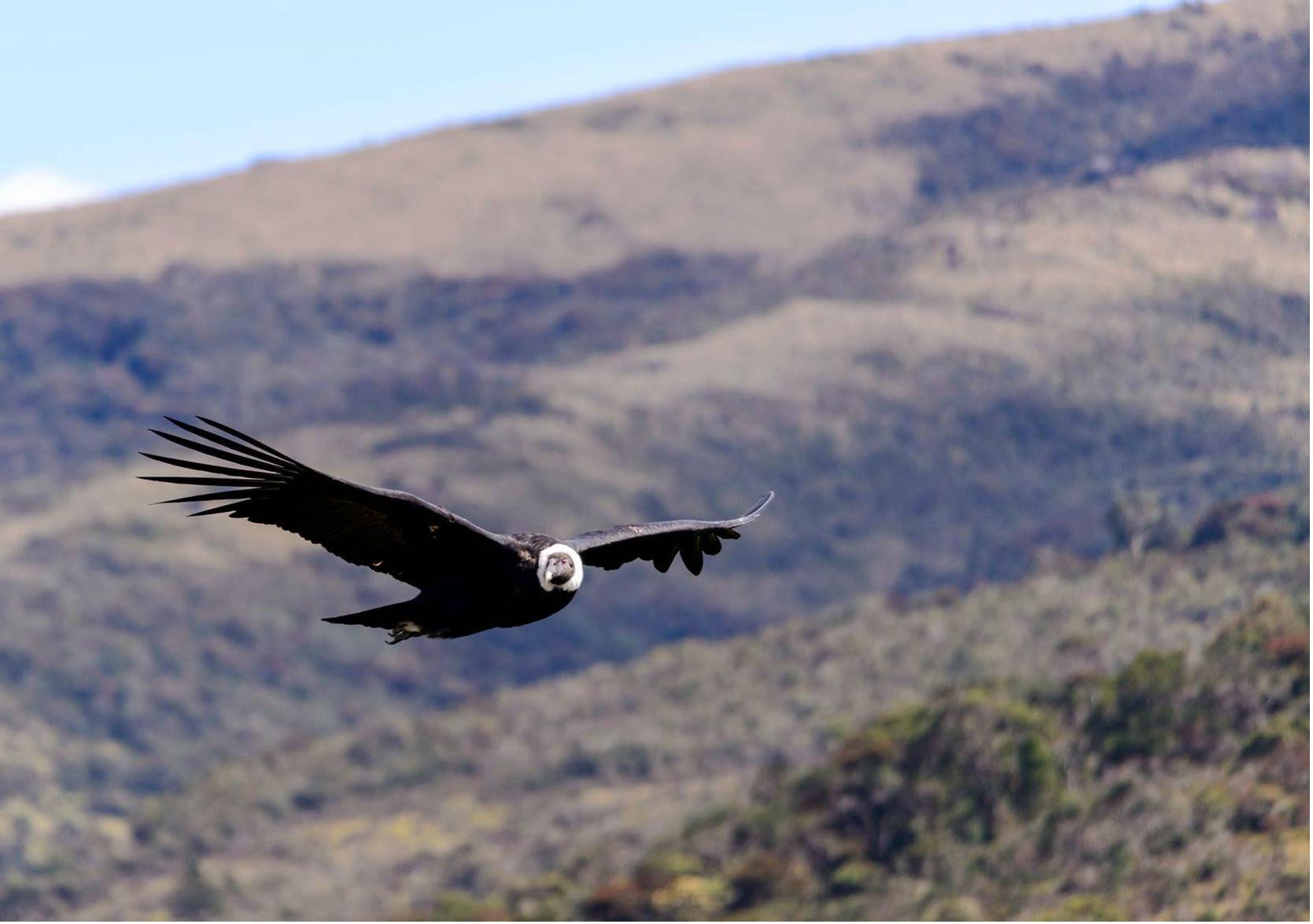 Un cóndor andino, el ave nacional de Colombia.
