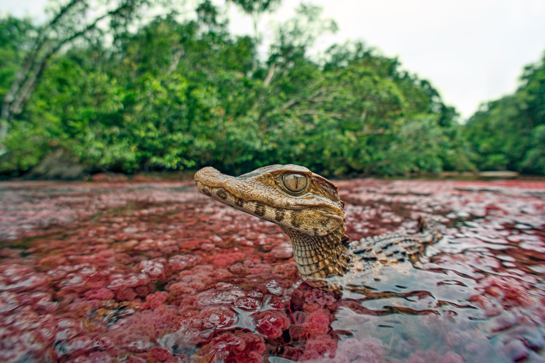 Ivan Mikolji wide angle photograph of a wild Cuviers dwarf caiman, Paleosuchus palpebrosus, in its natural habitat, Stock photo, Royalty free Image available at www.mikolji.com, www.aquatic-experts.com, Fotos de los reptiles de Colombia