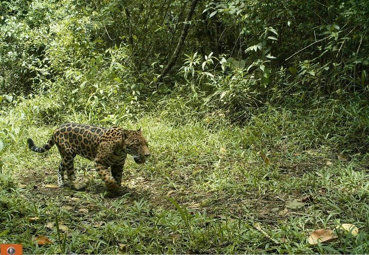 jaguar colombia