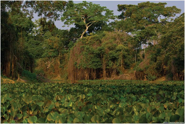 El bioma del Pantanal es el humedal más grande del mundo y abarca más de 160 000 kilómetros cuadrados en el centro de América del Sur. Foto de Steve Winter/Panthera.org