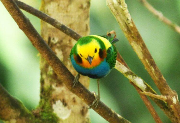 Tángara multicolor o Chlorochrysa nitidissima. Foto de Scott Winton