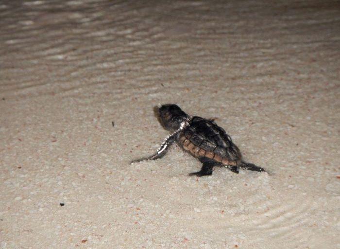 Las tortugas 'rezagadas' que no pueden superar la columna de arena por sus propios medios, son auxiliadas por los biólogos en su camino al mar. Fotos: Fundación Tortugas del Mar