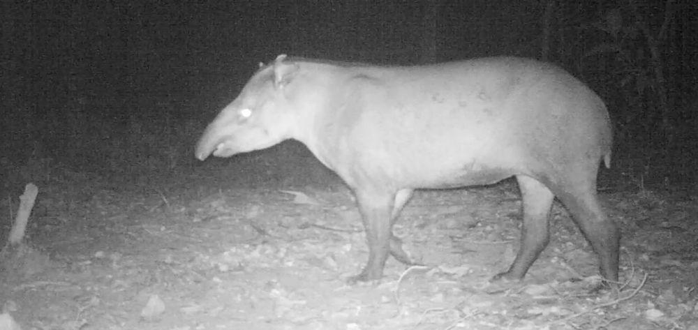 Los tapires de tierras bajas comen plantas y frutas y son unos importantes dispersores de semillas Foto: Corantioquia