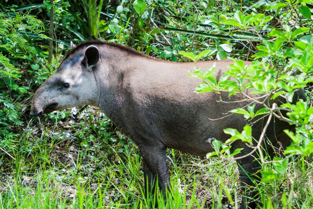 El tapir de tierras bajas es una de las especies de este mamífero que se encuentran en Colombia. Foto de Diego J. Lizcano.