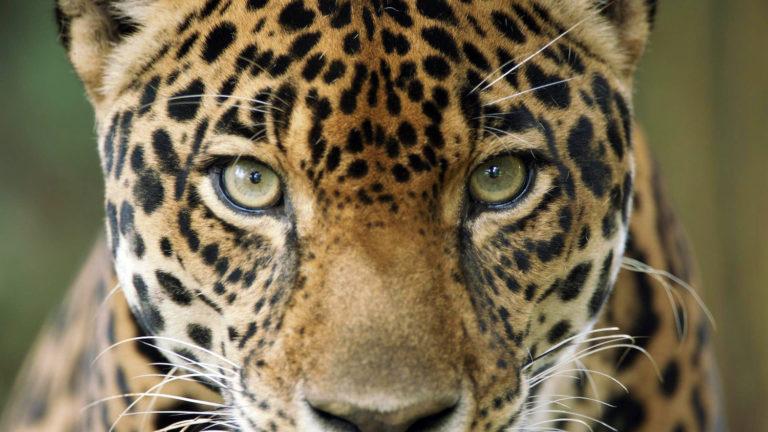 Las alertas recientes de deforestación en Colombia amenazan el hábitat de los jaguares. Foto: PROCAT Colombia.