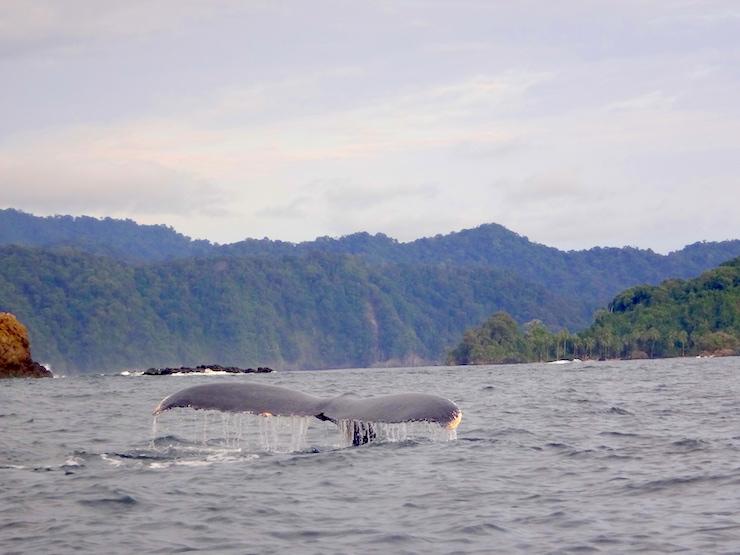 El litoral de la nueva área protegida es la ruta de migración y reproducción de las ballenas jorobadas. Foto: Fundación MarViva.
