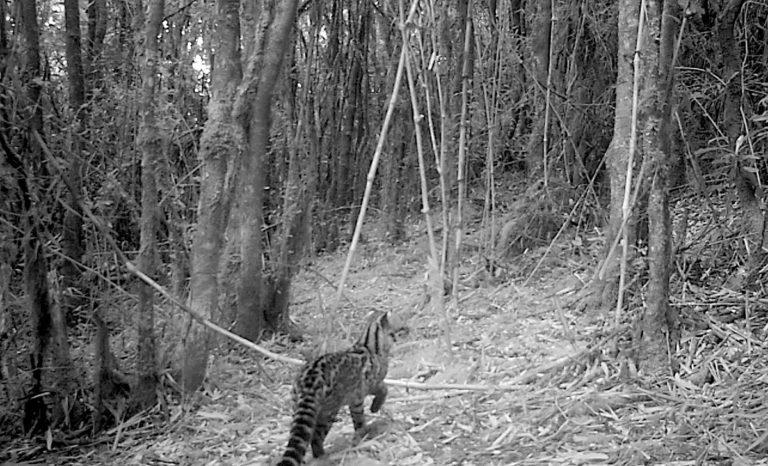 Tigrillo lanudo (Leopardus tigrinus). Foto: Cortesía Procat Colombia.