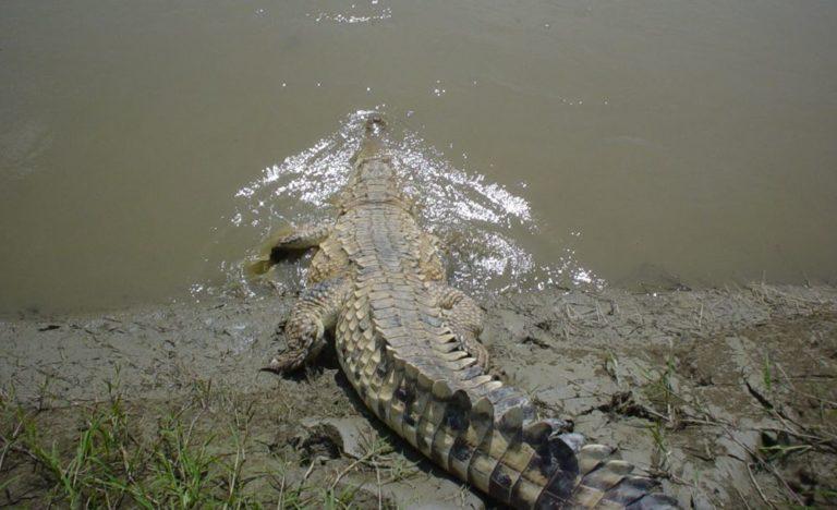 Carmelo, nombre de este caimán del Orinoco en Cojedes (Venezuela). Foto: Ricardo Babarro.
