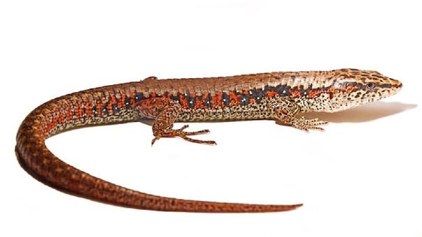 Macho adulto de la nueva lagartija. Fotógrafo: Lesly Luján