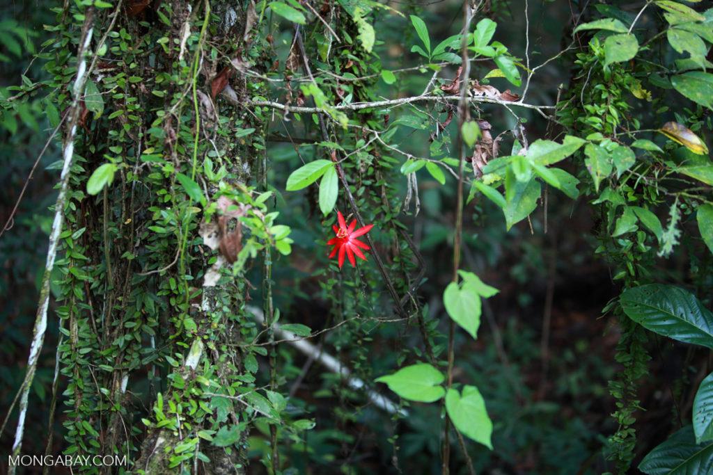 Pasionaria en lel bosque lluvioso amazónico de Colombia. Foto: Rhett A. Butler.