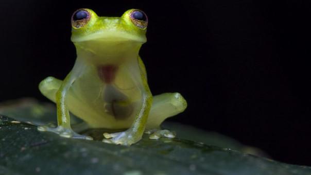 Rana de Cristal. Fotógrafo: Jaime Culebras