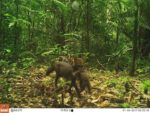 Una de las imágenes captadas por cámaras trampa que más sorprendió a los científicos fue esta de un perro de orejas cortas lleva a su cría. Foto de Wired Amazon/San Diego Zoo Global