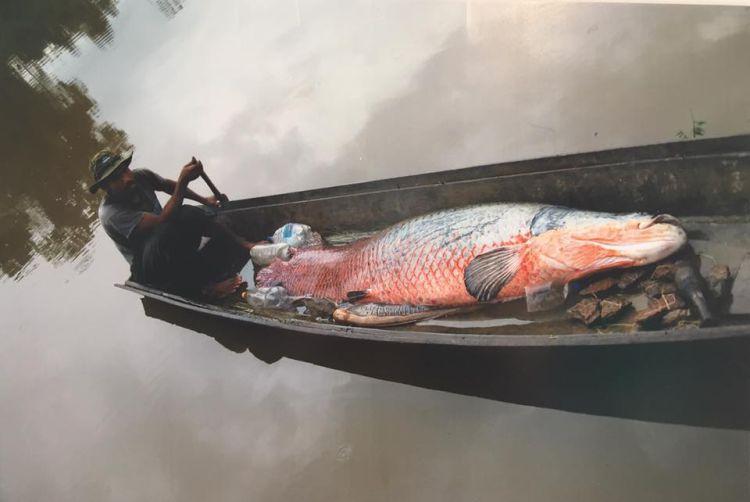 El desarrollo de la pesca del paiche podría proporcionar un mayor ingreso y estabilidad a los pescadores de una región del país donde se encuentra un alto índice de pobreza e inseguridad alimentaria. Foto de Fernando Carvajal
