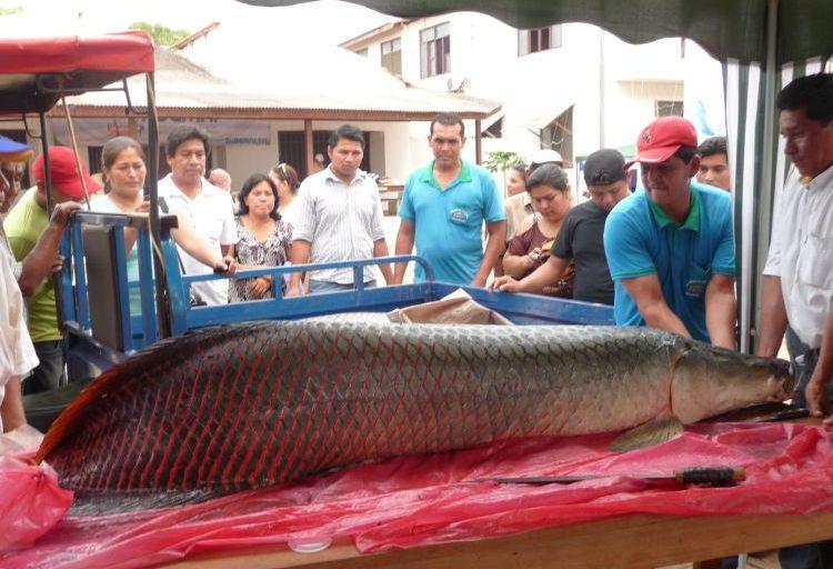 En Bolivia se ha determinado que la especie posee hábitos omnívoros con preferencia por los peces, y que es un oportunista más que una especie selectiva. Foto de Roxana Salas / Faunagua.