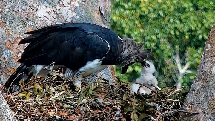 Una de las águilas harpías alimenta a su cría. Foto: Rainforest Expeditions/San Diego Zoo Global