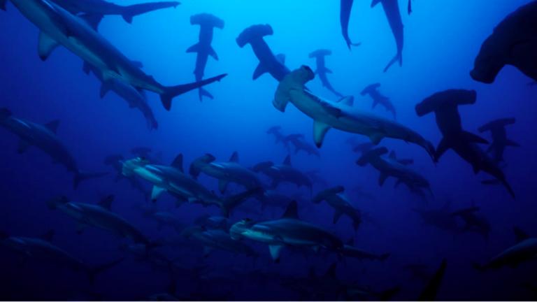 Tiburones martillo (Sphyrna lewini). Foto. Fundación Malpelo.