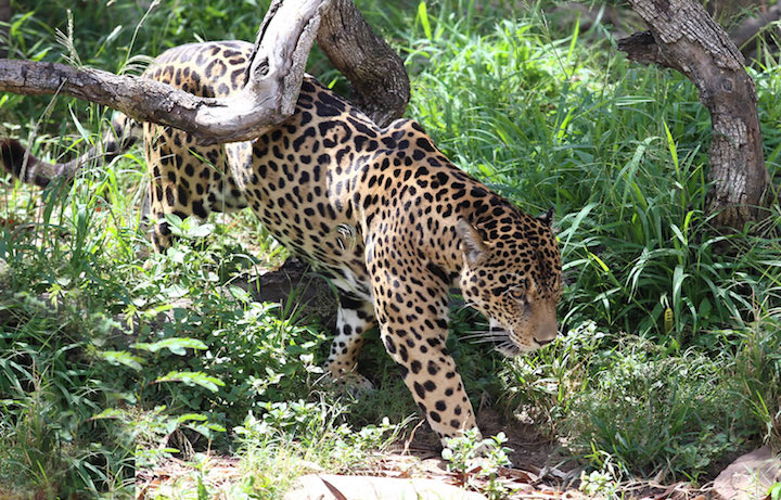 Según el Libro rojo de la fauna silvestre de los vertebrados de Bolivia, el jaguar o Panthera Onca, está en estado de vulnerabilidad. El interés exponencial por su piel, colmillos, garras, bigotes, penes y testículos aviva el interés de los cazadores. | Fuente: Mongabay Latam / El Deber | Fotógrafo: Fuad Landíva