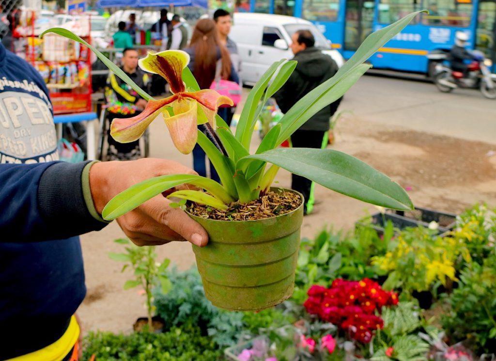"""Una Paphiopedilum villosum, orquídea """"zapatilla"""" del sudeste asiático en el mercado de Paloquemao, en Bogotá. Foto: Maximo Anderson, para Mongabay."""