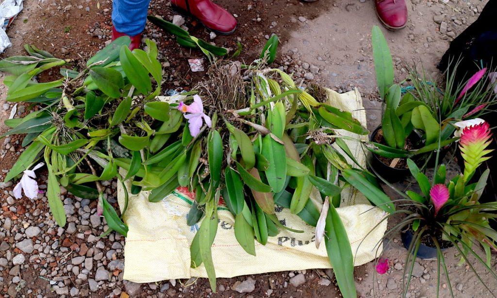 La Cattleya trianae, también conocida como flor de mayo, está en peligro de extinción. Mercado de Paloquemao, en Bogotá. Foto: Maximo Anderson, para Mongabay.