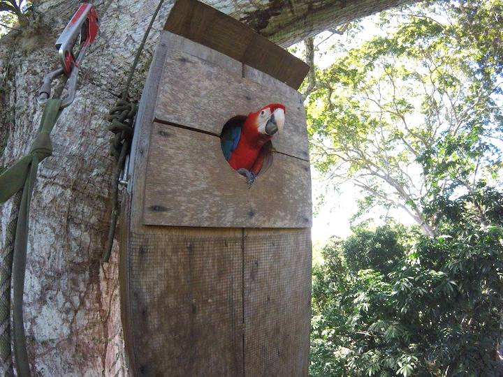 Nido de madera de un guacamayo en Tambopata
