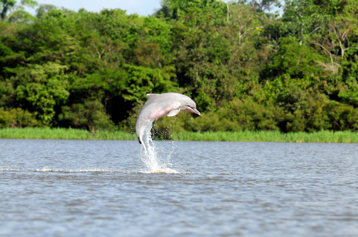 Delfín gris (Sotalia fluviatilis) que habita los Lagos de Tarapoto. Foto: Fernando Trujillo – Fundación Omacha.