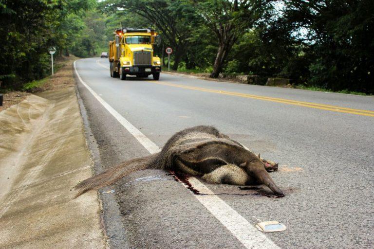 Oso hormiguero atropellado en vías del departamento de Casanare. Foto de Fundación Cunaguaro.